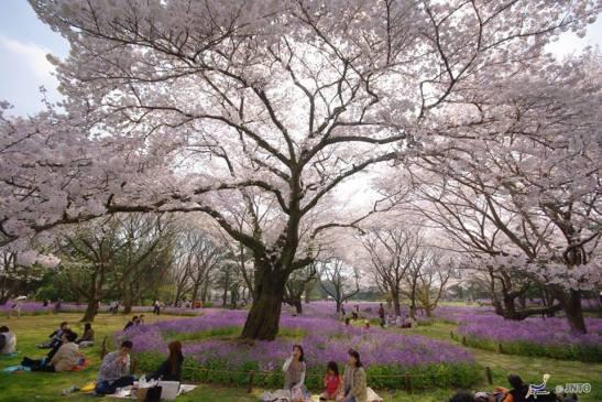 """Vue de """"Showa Kinen Park , Tokyo (C) Yasufumi Nishi"""", extraite de la page Facebook de Visit Japan International"""